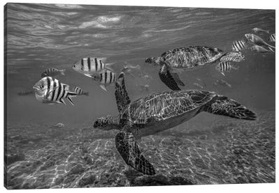 Green Sea Turtle swimming with a school of butterfly fish, Apo Island, Philippines Canvas Art Print