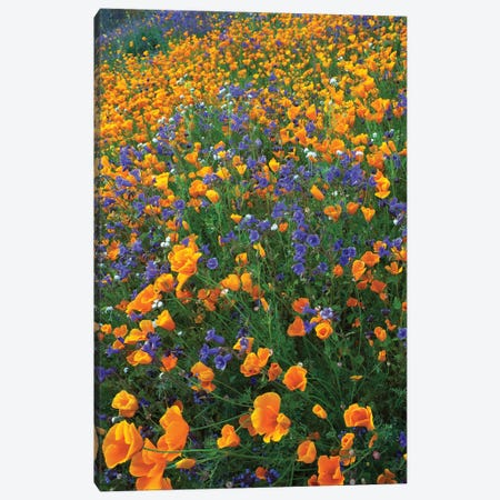California Poppy And Desert Bluebell Flowers, Antelope Valley, California II Canvas Print #TFI162} by Tim Fitzharris Canvas Art Print