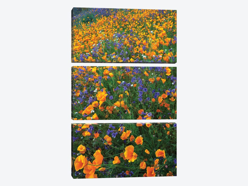 California Poppy And Desert Bluebell Flowers, Antelope Valley, California II by Tim Fitzharris 3-piece Art Print
