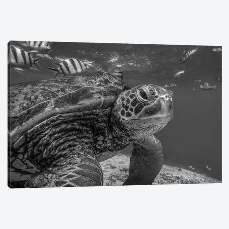 Green Sea Turtle, Balicasag Island, Philippines Canvas Print #TFI1631} by Tim Fitzharris Canvas Artwork