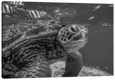 Green Sea Turtle, Balicasag Island, Philippines Canvas Art Print