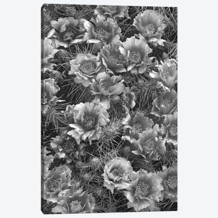 Grizzly Bear Cactus in bloom, North America Canvas Print #TFI1632} by Tim Fitzharris Canvas Art
