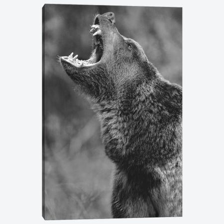 Grizzly Bear calling, North America Canvas Print #TFI1633} by Tim Fitzharris Canvas Wall Art