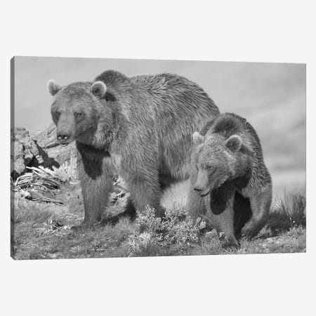Grizzly Bear mother with a one year old cub, North America Canvas Print #TFI1635} by Tim Fitzharris Canvas Print