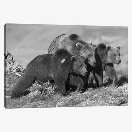 Grizzly Bear mother with two one year old cubs, North America Canvas Print #TFI1636} by Tim Fitzharris Art Print