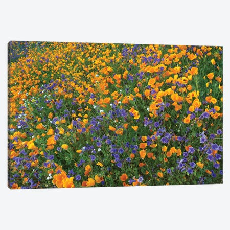 California Poppy And Desert Bluebell Flowers, Antelope Valley, California III Canvas Print #TFI163} by Tim Fitzharris Art Print