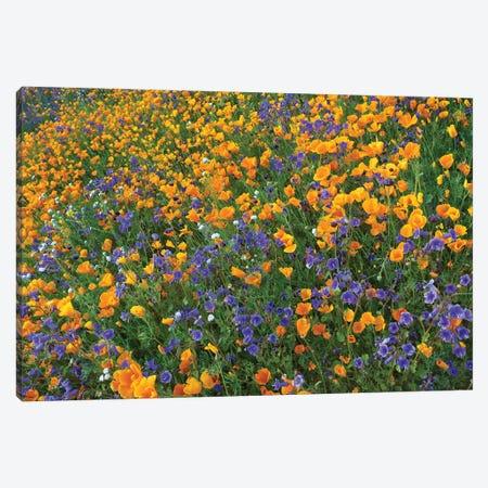 California Poppy And Desert Bluebell Flowers, Antelope Valley, California III Canvas Print #TFI163} by Tim Fitzharris Art Print