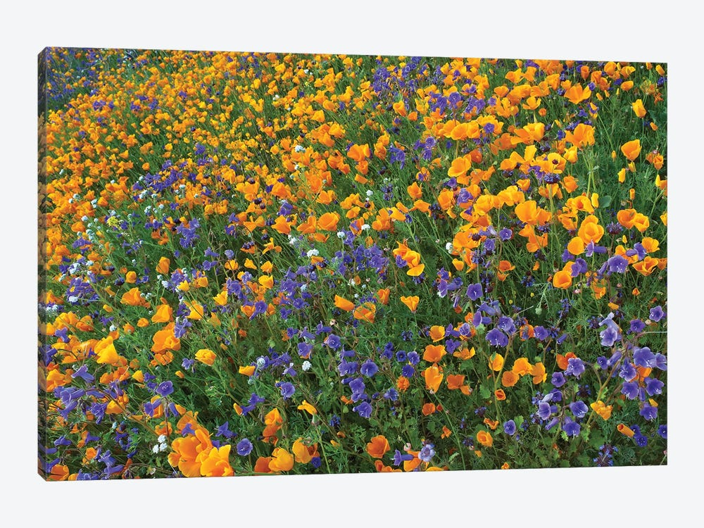 California Poppy And Desert Bluebell Flowers, Antelope Valley, California III by Tim Fitzharris 1-piece Canvas Artwork