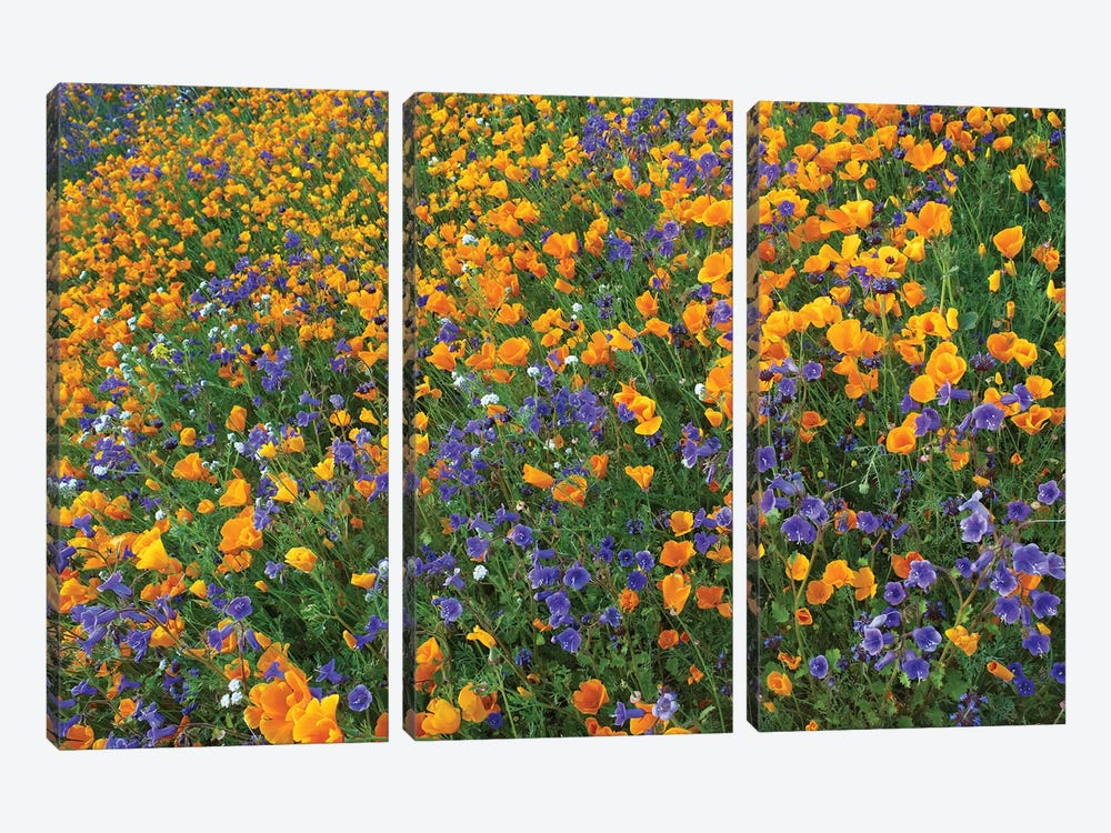California Poppy And Desert Bluebell Flowers, Antelope Valley, California III by Tim Fitzharris 3-piece Canvas Wall Art