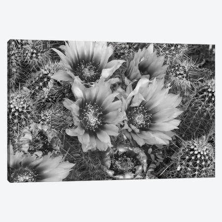 Hedgehog Cactus flowering, Arizona Canvas Print #TFI1640} by Tim Fitzharris Canvas Art Print