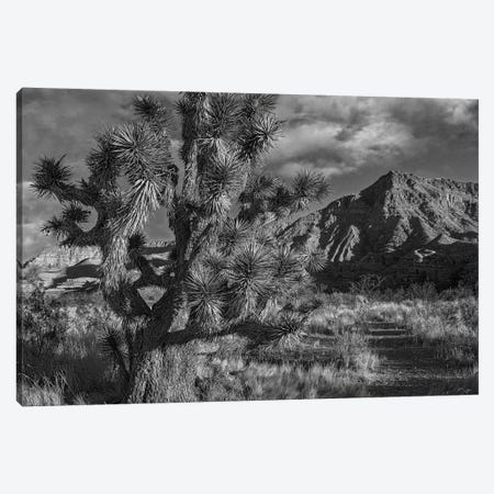 Joshua Tree and the Virgin Mountains, Arizona Canvas Print #TFI1645} by Tim Fitzharris Canvas Wall Art