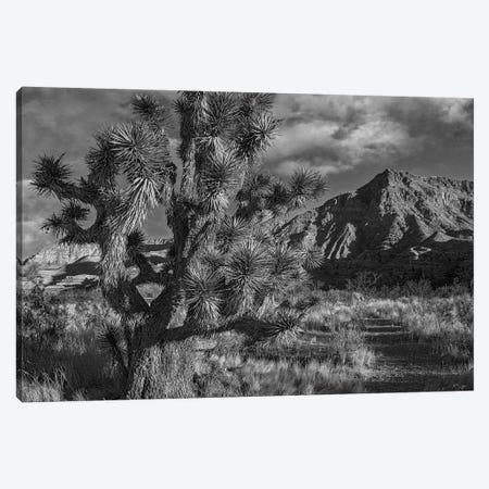 Joshua Tree and the Virgin Mountains, Arizona Canvas Print #TFI1645} by Tim Fitzharris Canvas Wall Art