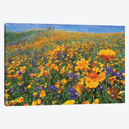 California Poppy And Desert Bluebell Flowers, Antelope Valley, California IV Canvas Print #TFI164} by Tim Fitzharris Canvas Wall Art
