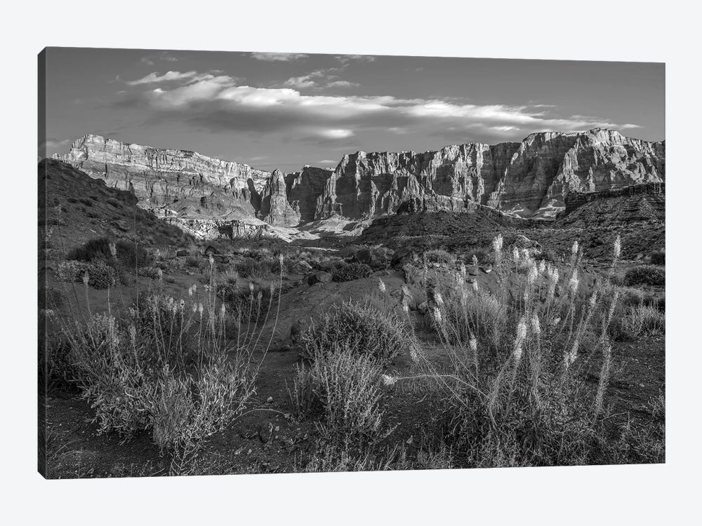Miner's Candle flowers in desert, Cathedral Wash, Vermilion Cliffs National Monument, Arizona by Tim Fitzharris 1-piece Canvas Print