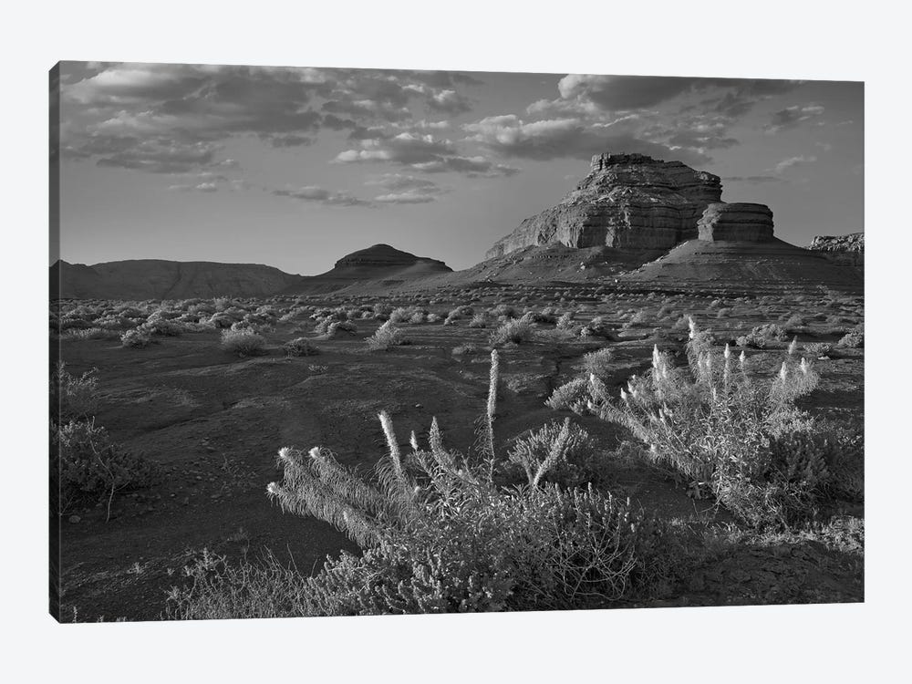 Miner's Candle flowers, Cathedral Wash, Vermilion Cliffs National Monument, Arizona by Tim Fitzharris 1-piece Canvas Art Print