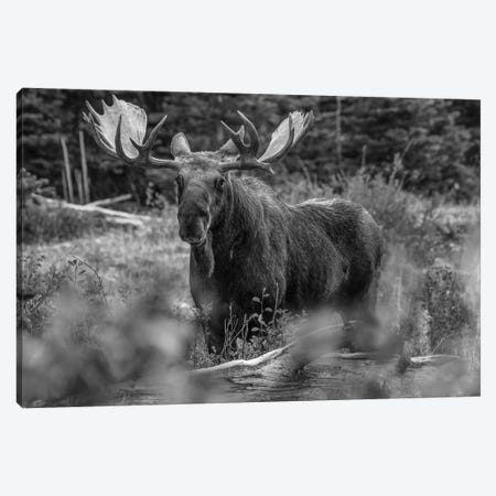Moose bull, Glacier National Park, Montana Canvas Print #TFI1669} by Tim Fitzharris Canvas Print