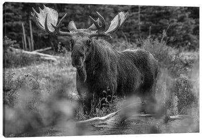 Moose bull, Glacier National Park, Montana Canvas Art Print