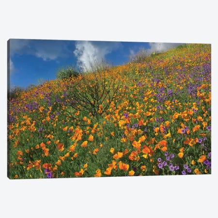 California Poppy And Desert Bluebells Carpeting A Spring Hillside, California Canvas Print #TFI166} by Tim Fitzharris Canvas Wall Art
