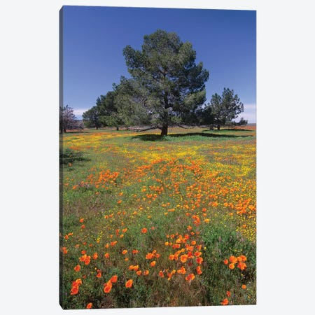 California Poppy And Eriophyllum Field With Pine Trees, Antelope Valley, California Canvas Print #TFI167} by Tim Fitzharris Canvas Wall Art