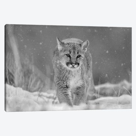 Mountain Lion cub in winter Canvas Print #TFI1680} by Tim Fitzharris Canvas Print