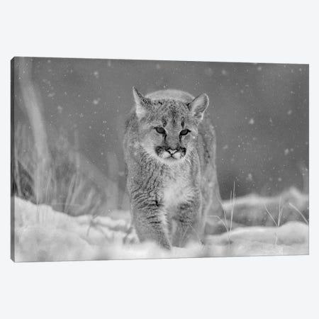 Mountain Lion cub in winter Canvas Print #TFI1680} by Tim Fitzharris Canvas Print
