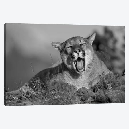 Mountain Lion yawning, North America Canvas Print #TFI1683} by Tim Fitzharris Art Print