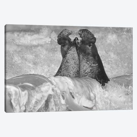 Northern Elephant Seal bulls fighting in surf, Piedras Blancas, California Canvas Print #TFI1693} by Tim Fitzharris Canvas Artwork