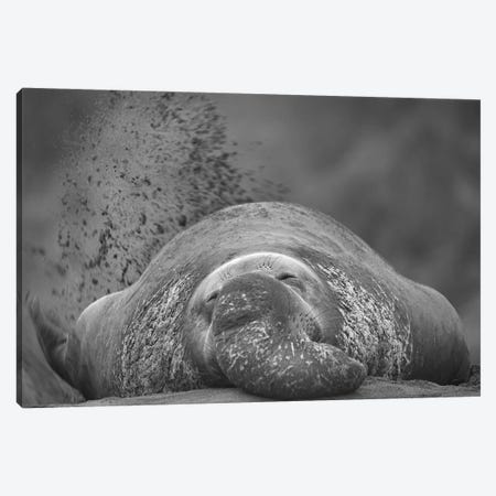 Northern Elephant Seal male flicking sand onto his back to keep cool, Ano Nuevo, California Canvas Print #TFI1694} by Tim Fitzharris Art Print