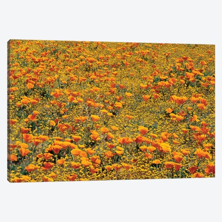 California Poppy And Golden Yarrow Flowers, California Canvas Print #TFI169} by Tim Fitzharris Canvas Print