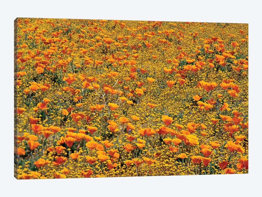 California Poppy And Golden Yarrow Flowers, California by Tim Fitzharris 1-piece Canvas Art