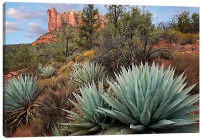 Agave And Coffee Pot Rock Near Sedona, Arizona Canvas Art Print