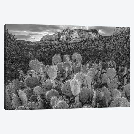 Opuntia cacti at Red Rock-Secret Mountain Wilderness,Arizona Canvas Print #TFI1704} by Tim Fitzharris Canvas Art Print