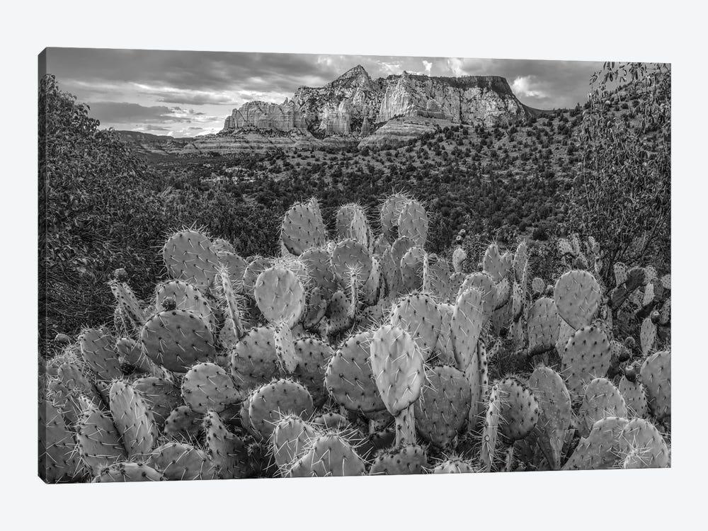 Opuntia cacti at Red Rock-Secret Mountain Wilderness,Arizona by Tim Fitzharris 1-piece Canvas Wall Art