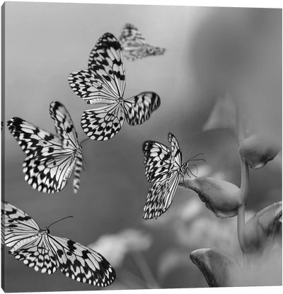 Paper Kite butterflies flying, Philippines Canvas Art Print