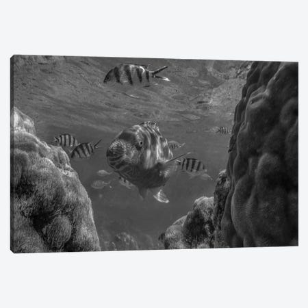 Parrotfish and Sergeant Major Damselfish school among coral, Apo Island, Philippines Canvas Print #TFI1710} by Tim Fitzharris Canvas Print