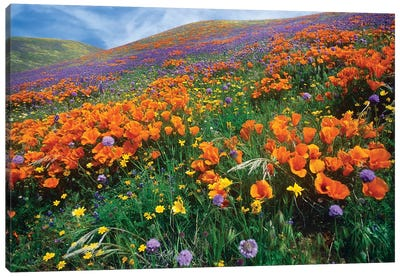 California Poppy And Other Wildflowers Growing On Hillside, Spring, Antelope Valley, California Canvas Art Print