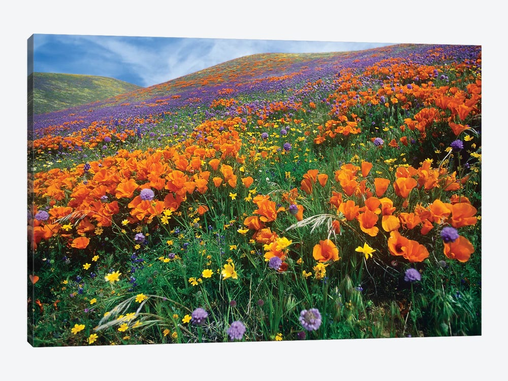 California Poppy And Other Wildflowers Growing On Hillside, Spring, Antelope Valley, California by Tim Fitzharris 1-piece Canvas Art Print