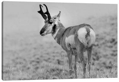 Pronghorn Antelope, Yellowstone National Park, Wyoming Canvas Art Print