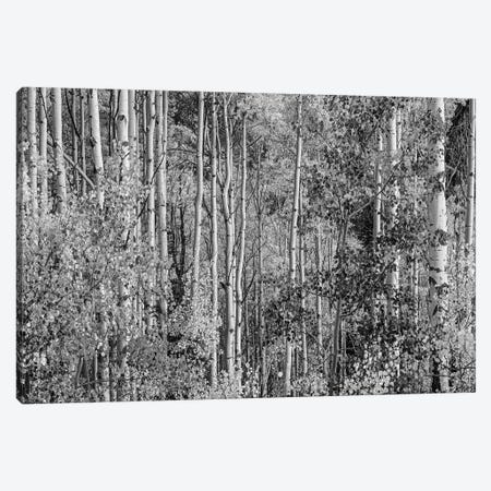 Quaking Aspen trees in fall, Lost Lake, Gunnison National Forest, Colorado Canvas Print #TFI1728} by Tim Fitzharris Canvas Art