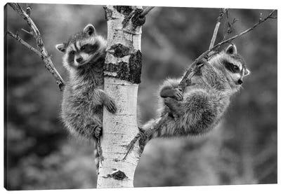 Raccoon babies in tree, North America Canvas Art Print