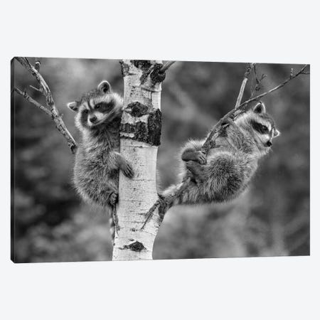 Raccoon babies in tree, North America Canvas Print #TFI1729} by Tim Fitzharris Canvas Wall Art