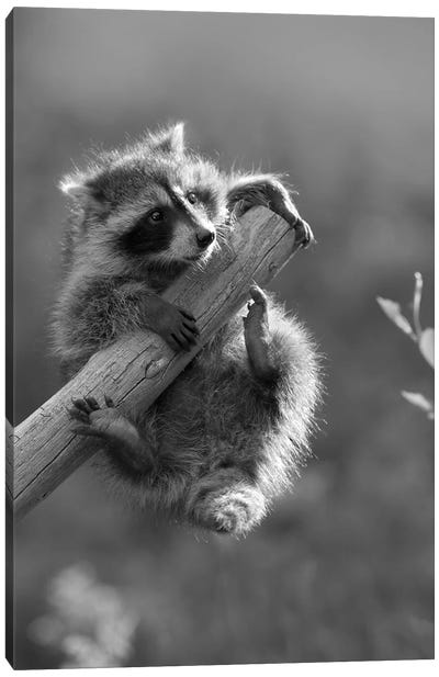 Raccoon baby climbing on tree limb, North America Canvas Art Print