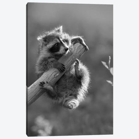 Raccoon baby climbing on tree limb, North America Canvas Print #TFI1730} by Tim Fitzharris Art Print
