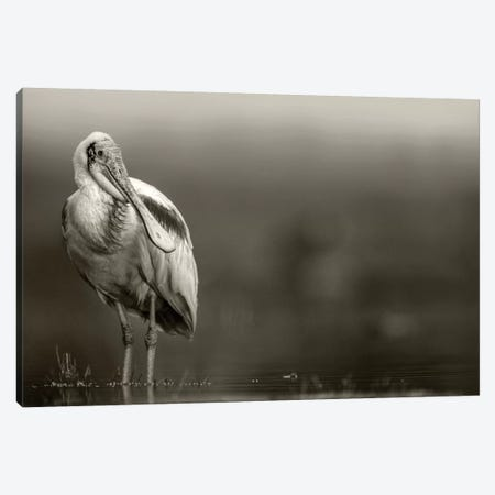Roseate Spoonbill adult in breeding plumage, North America Canvas Print #TFI1736} by Tim Fitzharris Canvas Wall Art