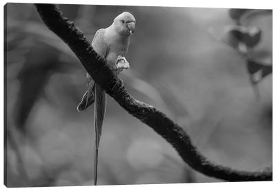 Rose-ringed Parakeet feeding, Jurong Bird Park, Singapore Canvas Art Print
