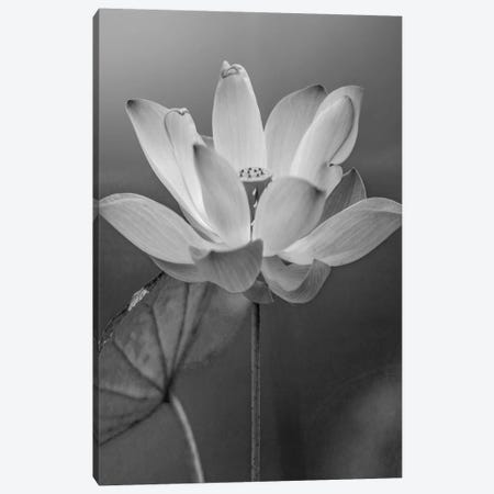Sacred Lotus flower, native to Asia Canvas Print #TFI1739} by Tim Fitzharris Art Print