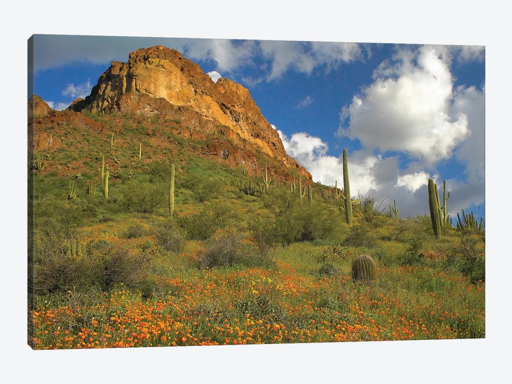 California Poppy And Saguaro Cacti, Organ Pipe Cactus National Monument, Arizona II by Tim Fitzharris 1-piece Canvas Print