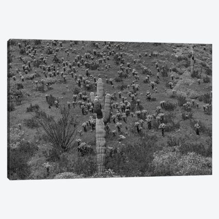 Saguaro and Opuntia cacti, Harquahala Mountains, Arizona Canvas Print #TFI1741} by Tim Fitzharris Canvas Art