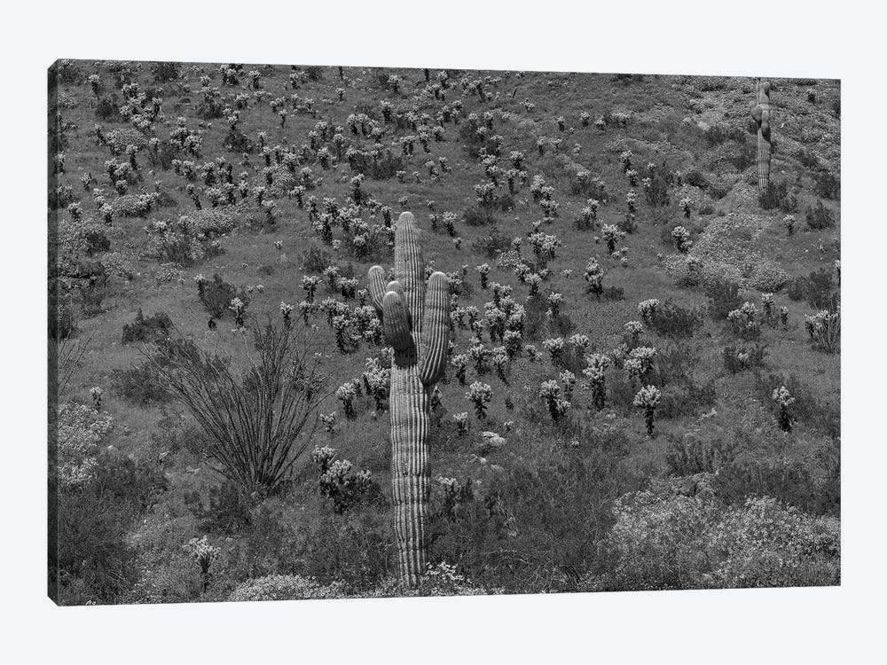 Saguaro and Opuntia cacti, Harquahala Mountains, Arizona by Tim Fitzharris 1-piece Canvas Print