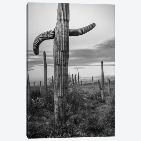 Saguaro Cacti with Sierrita Mountains in the background, Saguaro National Park, Arizona Canvas Print #TFI1746} by Tim Fitzharris Canvas Art Print